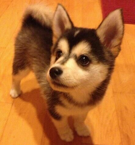 I want this Pomsky puppy. <3