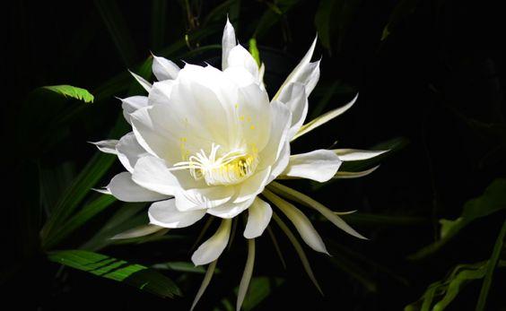 Menanam Bunga Wijaya Kusuma di Rumah Dengan Perawatan yang Mudah