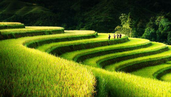 Rice Field Terrace - Northern Vietnam