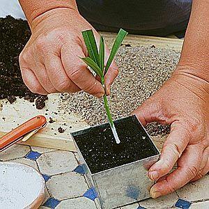 Calendrier des boutures des fleurs et arbustes d'ornements - Bouturer le laurier-rose