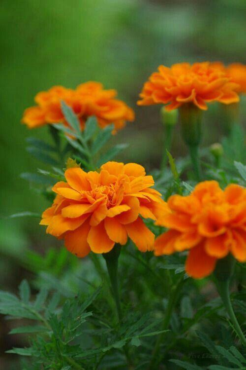 Pin Oleh Bhupinder Singh Di Flowers Bunga Hijau Kuning