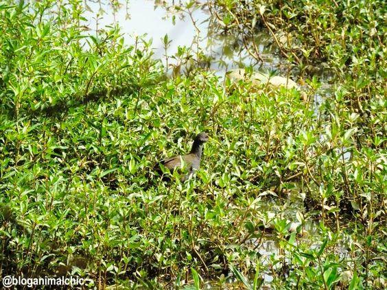 Saracura-sanã (Pardirallus nigricans) registrada no PET - Parque Ecológico do Tietê - em São Paulo, SP, em Janeiro/14.