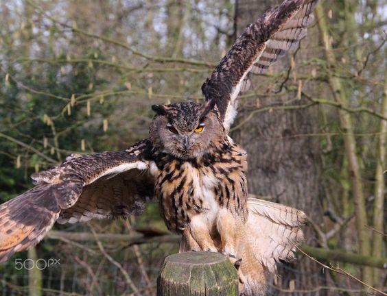 European Eagle Owl bubo bubo - European Eagle Owl bubo bubo