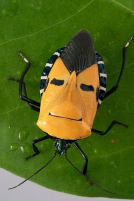 An amazing insect with a human face. A sap-sucking pentatomid bug. Photo by Darlyne-A-Murawski.