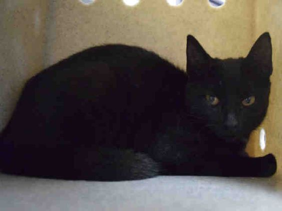 ABDUL - A1089092 - - Staten Island   *** TO BE DESTROYED 09/12/16 *** TWO YOUNG GUYS HANGING OUT TOGETHER…..WOLVERINE & ABDUL are 4 and 5 month old kittens who were offspring of an adult couple living under a porch….In an effort to TNR (sort of), the client started trapping the kittens and bringing them to the ACC while the ACC gave him info about TNR'ing the adult cats…..and so with that bit of convoluted logic, WOLVERINE and ABDUL have to figh