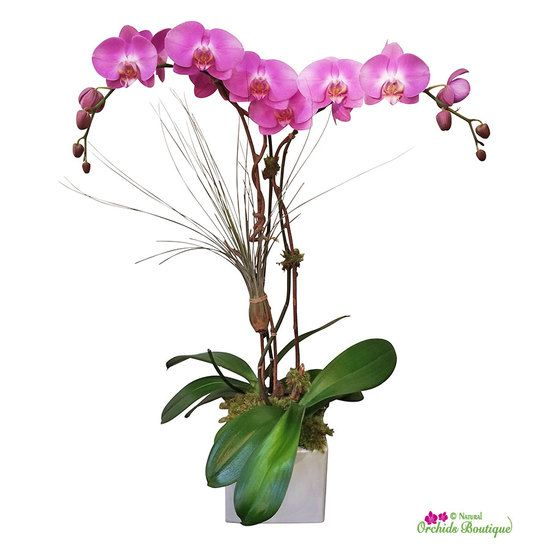 Modern Is The Most Phalaenopsis Orchid Arrangement Natural Orchids Boutique Phalaenopsis Orchid Orchid Arrangements Orchids