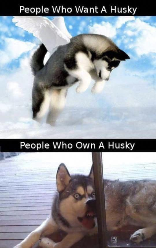 Discover Bold Siberian Huskies Dogs Size Siberianhuskyphotography Huskeylover Siberianhuskytraining Siberian Husky Funny Husky Funny Puppies Funny
