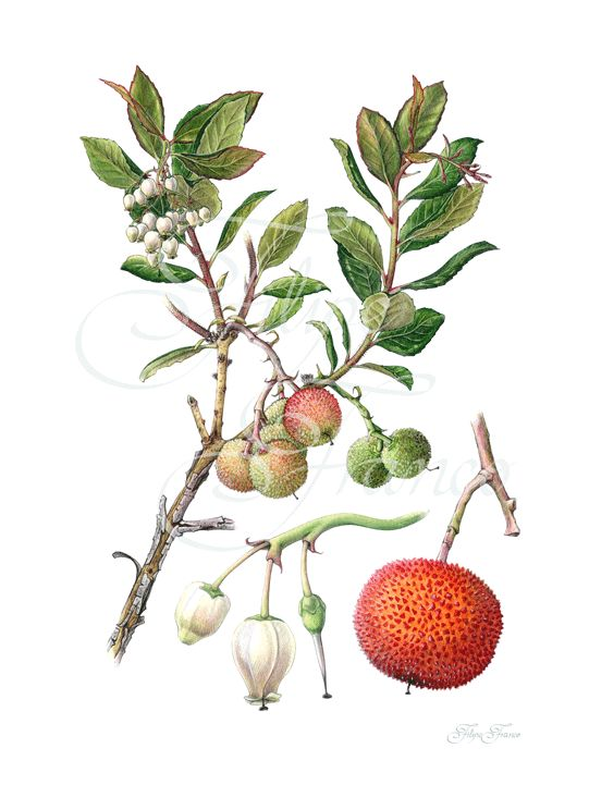 botanical illustration strawberry tree arbutus unedo