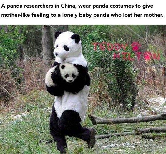 36 Funny Quotes Of The Day Precious Your Time 34 Funny Panda Pictures Panda Funny Cute Panda
