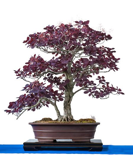 per ckenstrauch als bonsai bonsai b ume pinterest. Black Bedroom Furniture Sets. Home Design Ideas