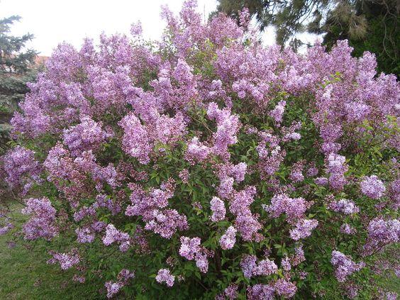 Arbol de lila
