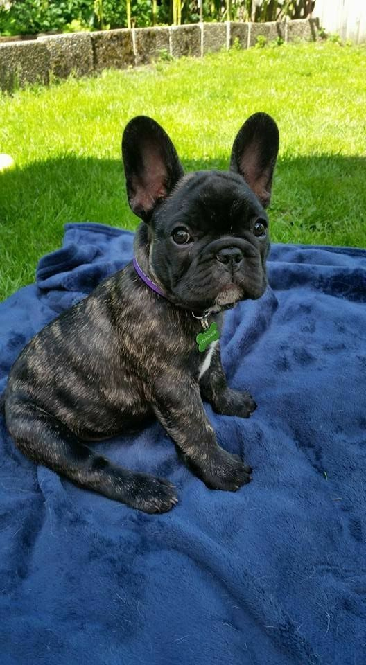 Pin By Chelsea Walter On Frenchies French Bulldog Puppies Bulldog Puppies French Dogs