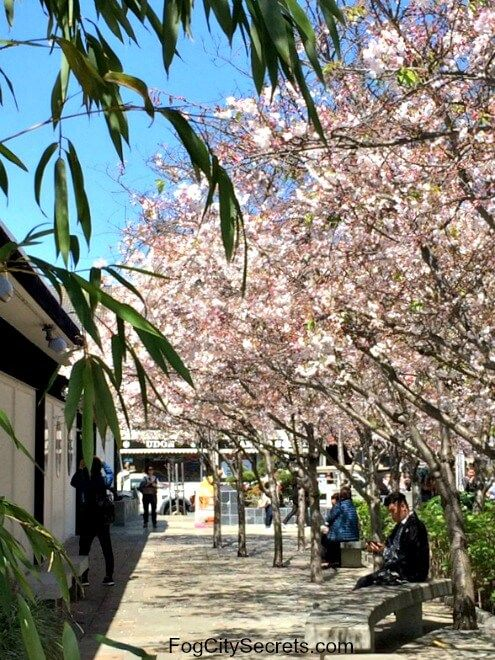 Cherry Blossoms On Trees In Peace Plaza Japantown Cherry Blossom Festival Cherry Blossom Logo Design Health