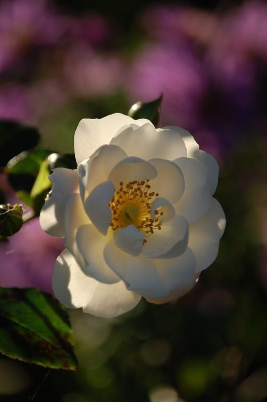 Historische Rosen 2010 - Seite 190 - Rund um die Rose - Mein schöner Garten online