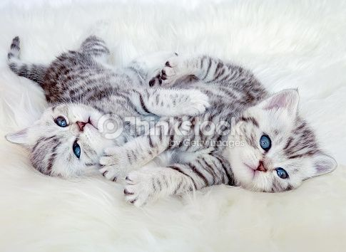 Image Result For British Shorthair Silver Tabby Blue Eye Cute