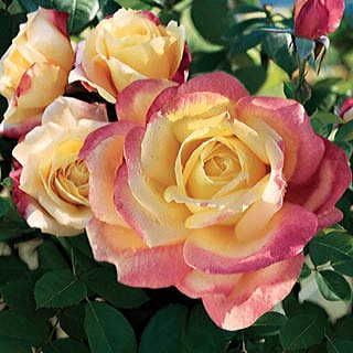 Rose Crown Gall: Learn About Crown Gall Damage In Roses