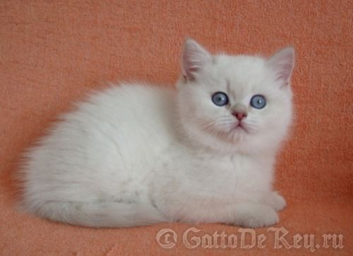International Champion Quella Vom Koberland Lilac Golden Tabby Point British Shorthair Golden Tabby Tabby Cat Colors