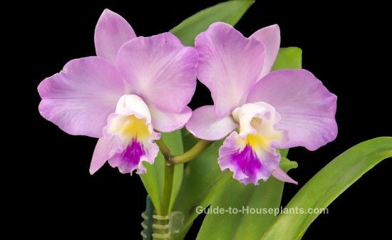 You Ll Find Cattleya Orchids For Sale Most Often In Spring Catts Are Among The Best Known Indoor Orchid Beautiful Flowers Pictures Cattleya Orchid Orchid Care