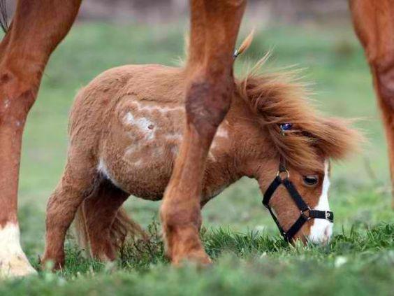 world smallest horse