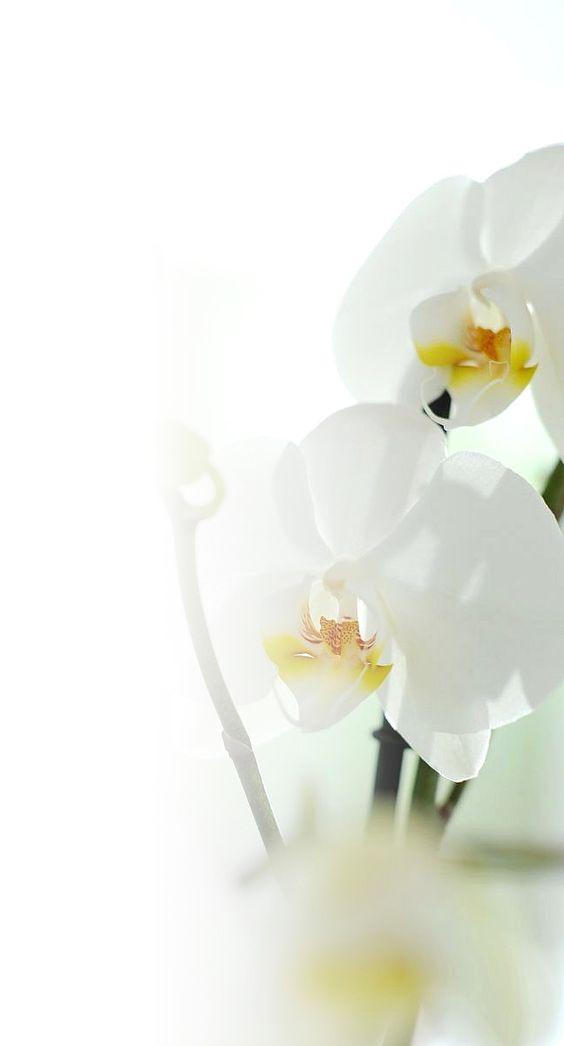 Assinatura de Orquídeas é uma excelente opção de decoração ou presente.  Saiba mais em: http://florapaisagismo.com