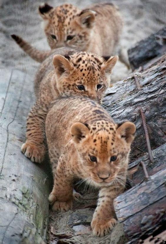 ~~Liliger Triplets ~ offspring of a male lion and female liger~~