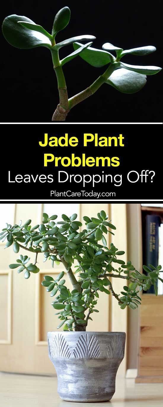 Jade Plant Losing Leaves Problems Turning Yellow Dropping Off Jade Plants Plants Jade Plant Care