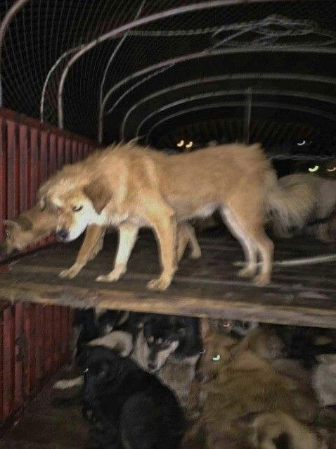 THIS IS WHAT FREEDOM LOOKS LIKE! 2 TRUCKS EACH CARRYING HUNDREDS OF DOGS BOUND FOR SLAUGHTERHOUSES, WERE SEIZED BY ACTIVISTS IN #CHINA   This is a freedom picture! pls join DUO DUO ANIMAL WELFARE PAGE  for updates and more info. THE BATTLE CONTINUES TO #£ndDogMeat   https://www.facebook.com/pages/Duo-Duo-Animal-Welfare-Project-%E5%A4%9A%E5%A4%9A/380841222033262?fref=photo