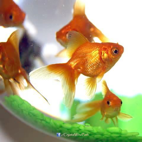 Feng Shui Lucky Number Of Fish In A Tank Feng Shui Fish Feng Shui Symbols Feng Shui