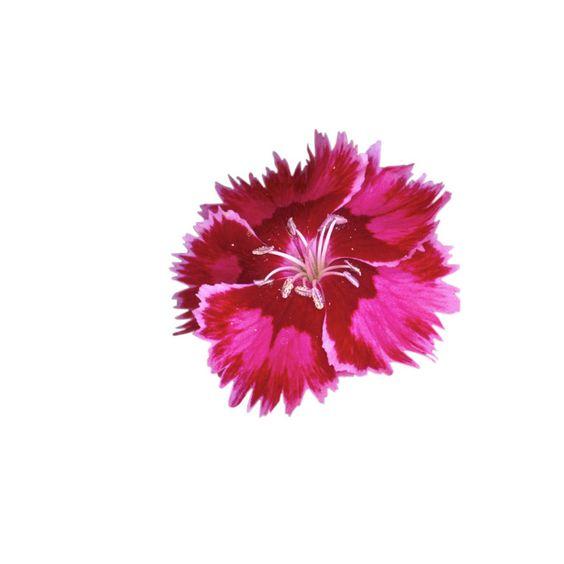 Shop 1.5-Gallon Dianthus (L9857) at Lowes.com