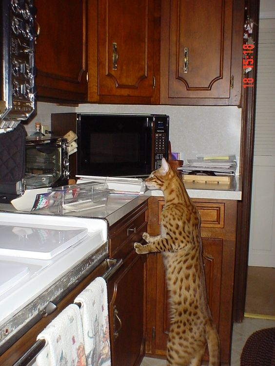 average lifespan of a female calico cat
