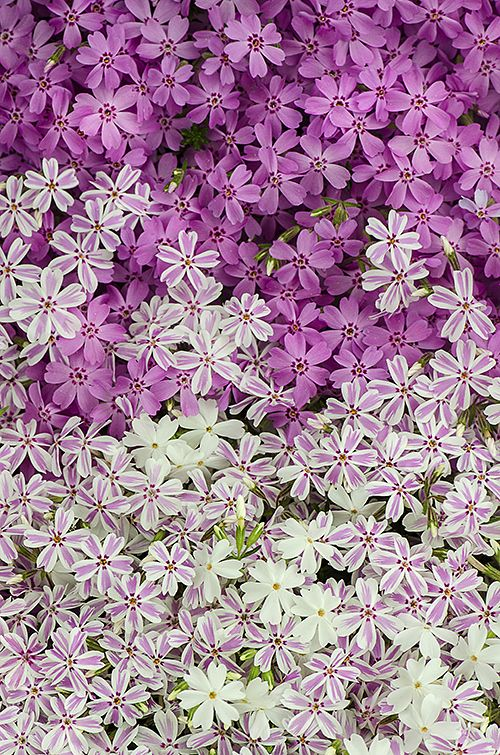 Creeping Phlox... Amazing for ground cover, or along pathways or walls, or in a rock garden, or on a roof, or in a pail.