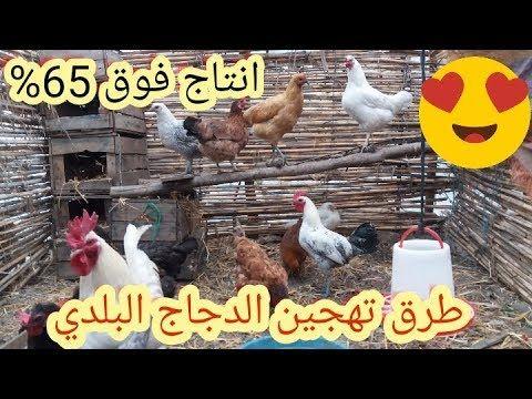 الدجاج البلدي كيفية تهجين الدجاج البلدي بالسلالات البياضة مثل الليجهورن Municipal Chicken Breeding Youtube Animals Rooster
