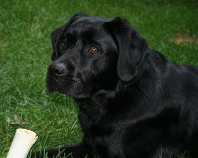 Dogs, English and Labs on Pinterest