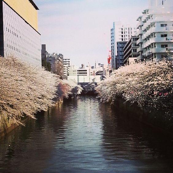 Japão - cerejeiras - rio