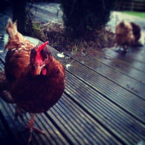 Little brown hen.