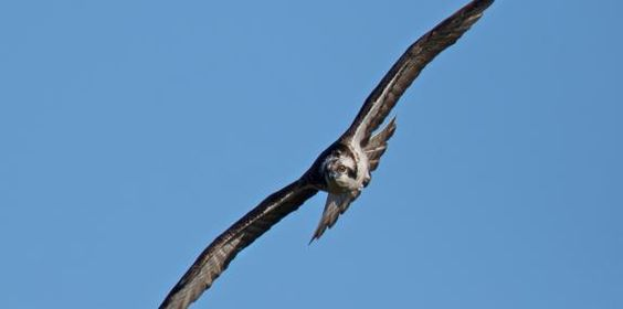 Monty Migrace a Welsh Osprey Přehled   Dyfi Osprey Project