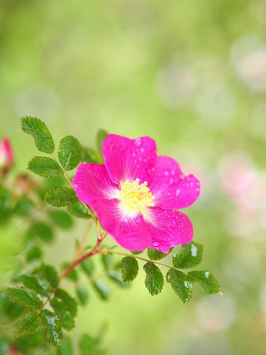Rose, Glory of Edzell, バラ, グローリー オブ エドゼル,   Flickr - Photo Sharing!