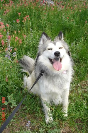 husky mix siberian huskies and husky on pinterest