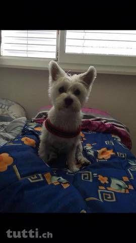 West Highland White Terrier + Malteser