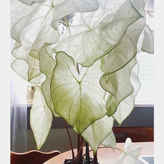 moonlight caladium 🌙 adding this beauty to my plant wish list