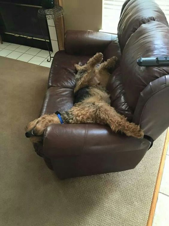 Airedale Sleep Position # 84