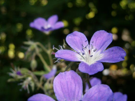 #Natur #Garten #Storchschnabel #violett #grün