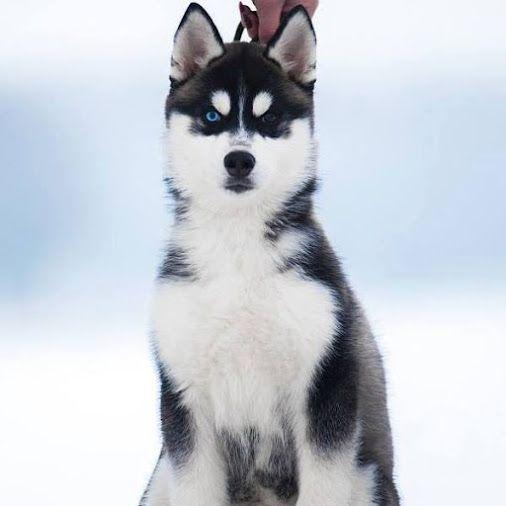 Husky Siberien Et Malamute D Alaskan Community Google Husky Malamute Little Dogs