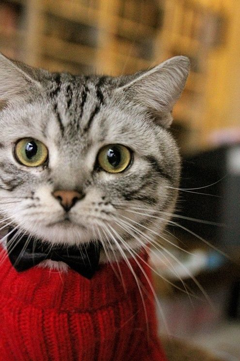 I didn't choose the cat life, the cat life chose me.  Cute little kitty wearing a red sweater and black bowtie.