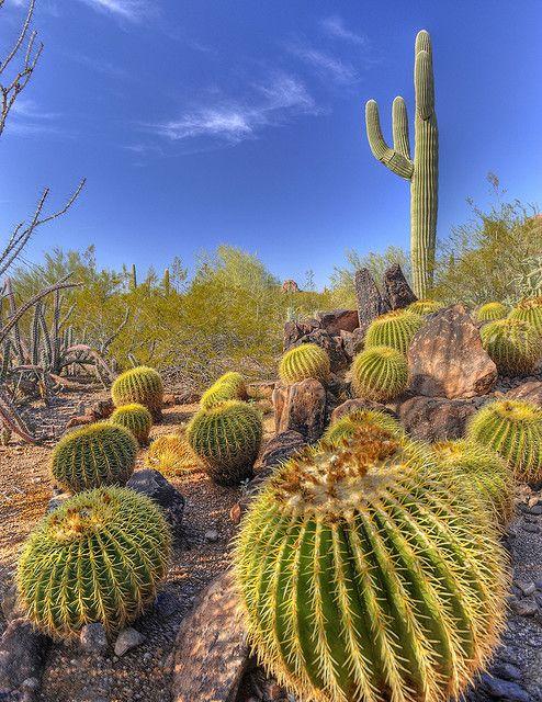 Barrel Cactus Landscape Taken At The Desert Botanical Gardens Phoenix Az Photo Coastal