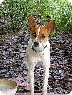 Terra Ceia, FL - Rat Terrier/Jack Russell Terrier Mix. Meet MILO, a dog for adoption.…: