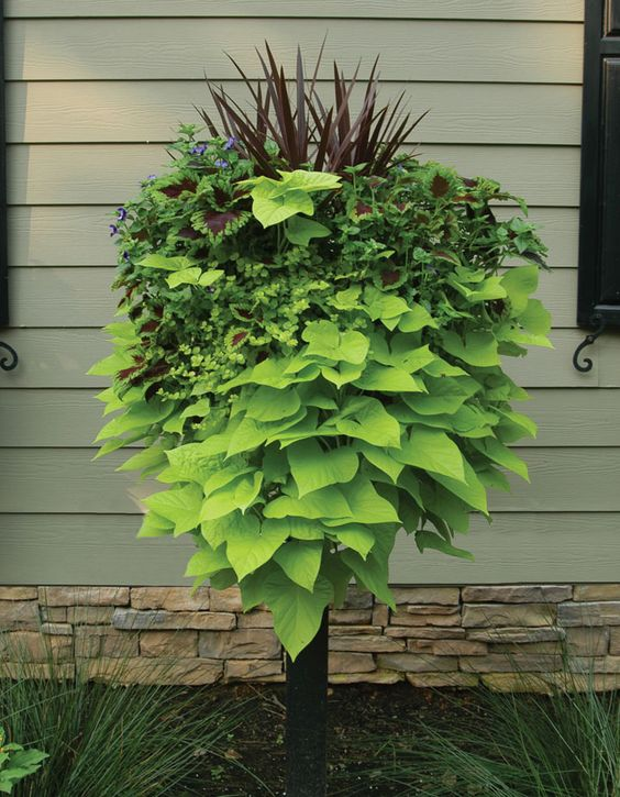 Potato Vine Is Always A Good Trailing Plant Love Using It
