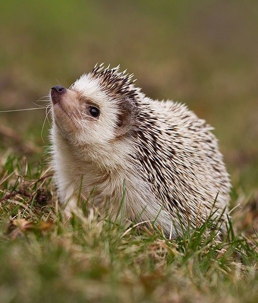 Spring Fever Animals Hedgehog: