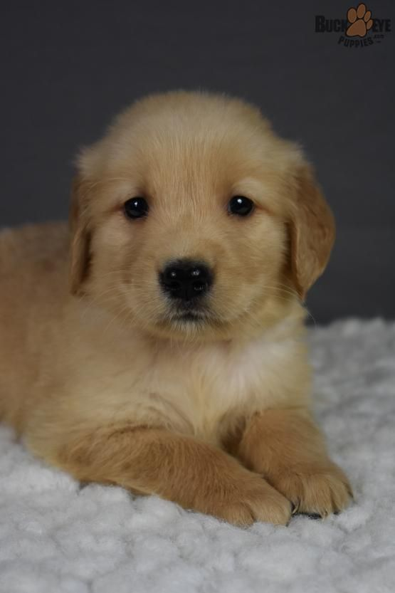 Goldenretrieverpuppy Goldenretrieverpup Goldenretrieverpuppies