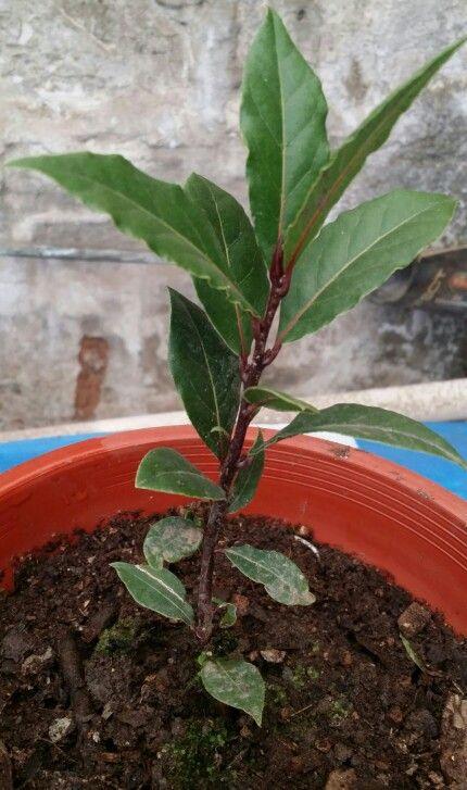 el laurel, laurus nobilis, es un árbol mediterráneo, aromático, de